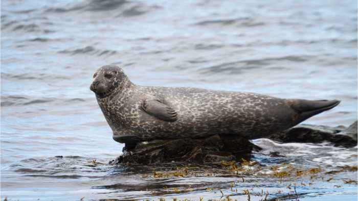 A Measles Type Virus Is Killing Thousands Of Seals