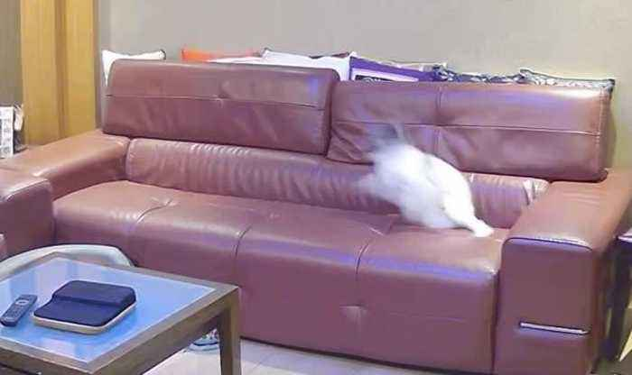 Excited Toy Poodle Zoomies on Couch While No One is Watching