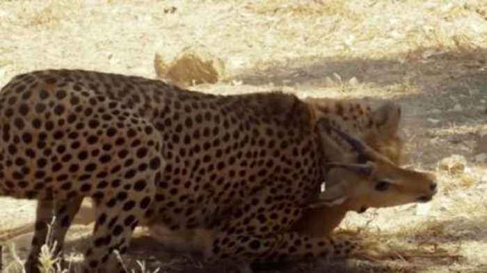This Cheetah Was Mid-Hunt When Another Furious Predator Showed Up