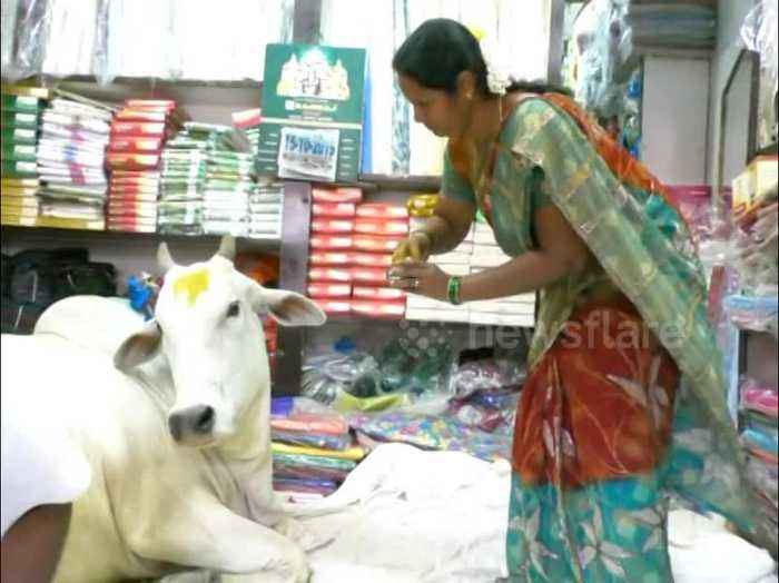 Stray cow becomes Indian cloth shop mascot after coming in to nap repeatedly