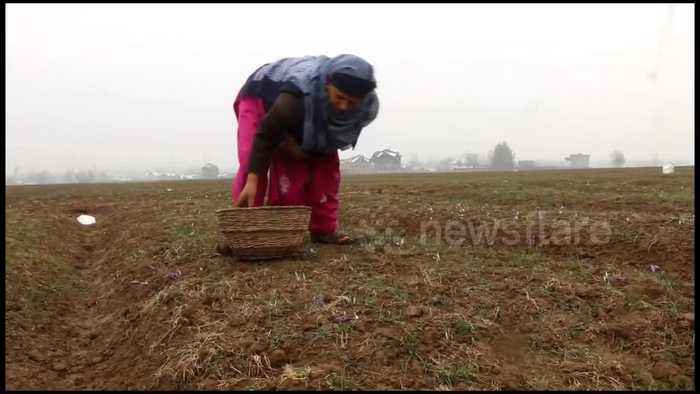 Untimely snowfall badly damages saffron crop in Indian state of Kashmir
