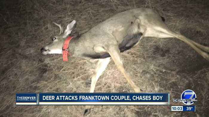 Deer wearing orange dog collar attacks and gores man in Franktown