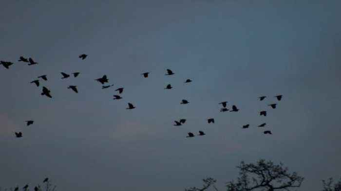 Watch as a Mob of Birds Turn Chaos into Order to Freak Out Predators