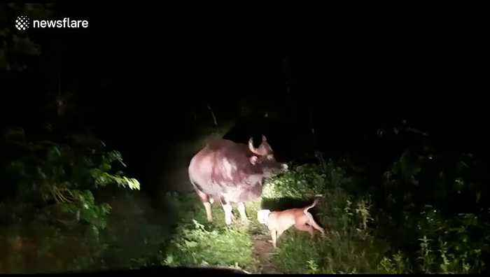 Brave dog takes on wild water buffalo in Indian forest to save owner