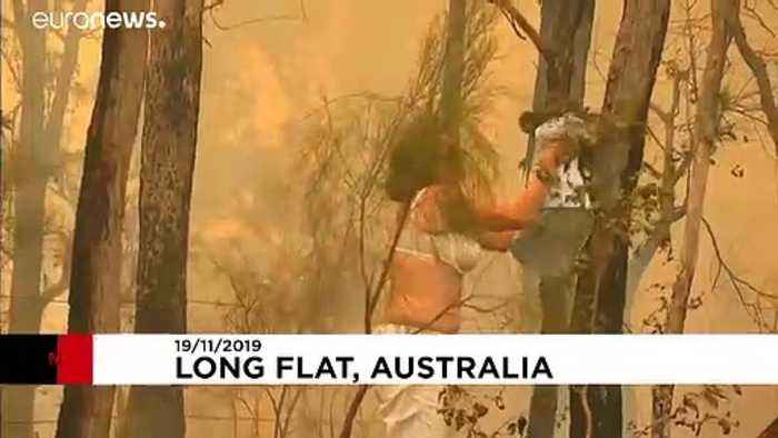 Image result for dramatic rescue of koala by woman