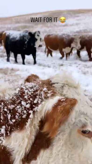 Cow Comes Out of Nowhere and Licks Phone Recording Them