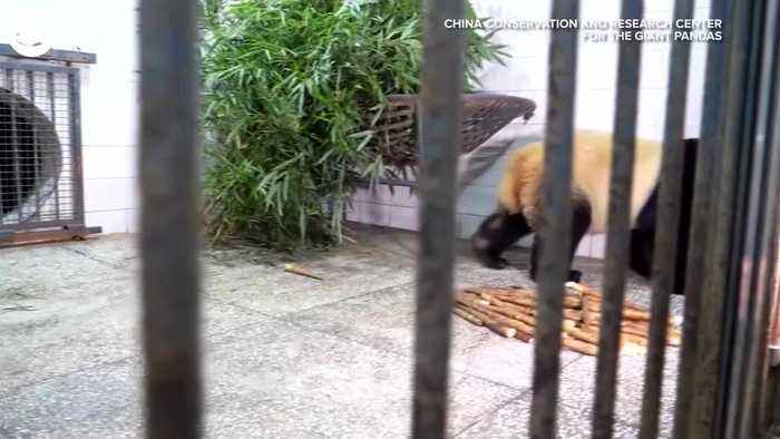 WEB EXTRA: Bei Bei Arrives At New Home In China