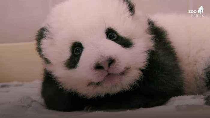 Newborn pandas at Berlin Zoo 'are thriving'