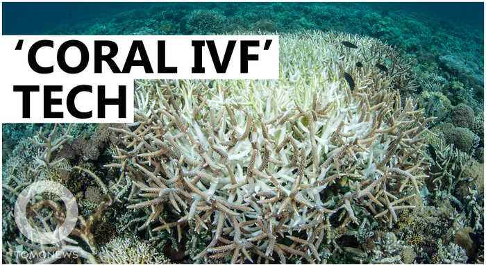 Scientists to use 'Coral IVF' to restore Great Barrier Reef