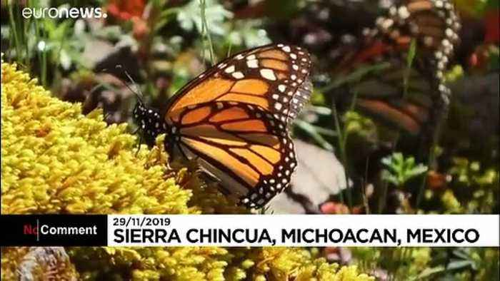 Famed monarch butterflies flutter to Mexico for annual migration