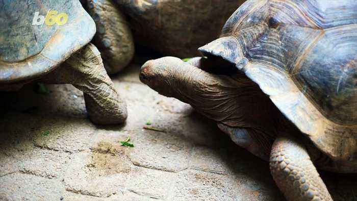 Giant Tortoises Can Remember Training For Nearly a Decade