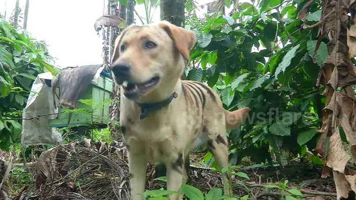 Indian farmer paints his pet dog with tiger stripes to scare off thieving monkeys