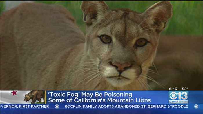 'Toxic Fog' May Be Poisoning Some California Mountain Lions