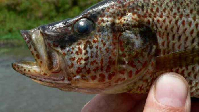 Fish That Aren't Picky About Choosing Partners Can Breed New Species: Study