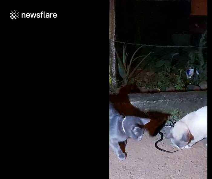 Brave cat in Colombia chews on a venomous snake while it tries to bite back