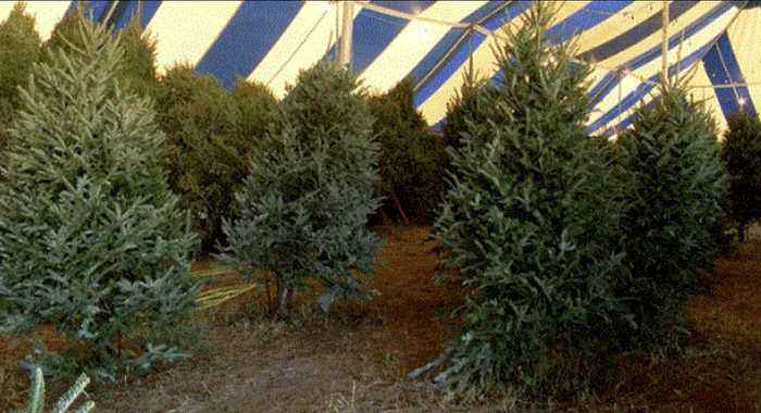 Christmas tree shortage has more people buying plastic trees