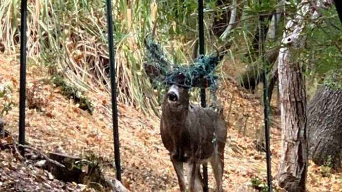 Buck Spotted With Antlers Tangled In Christmas Lights