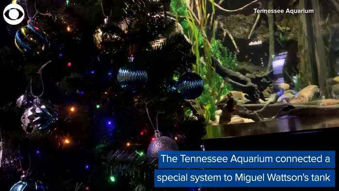 WEB EXTRA: Electric Eel Turns On Christmas Tree Lights