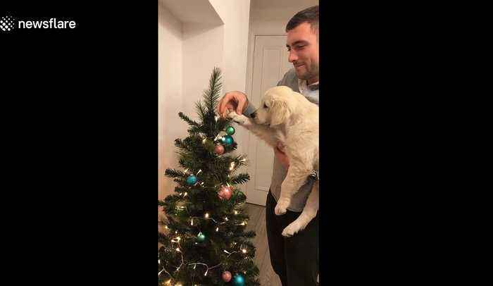 Santa's little helper! Adorable puppy helps owner decorate Christmas tree