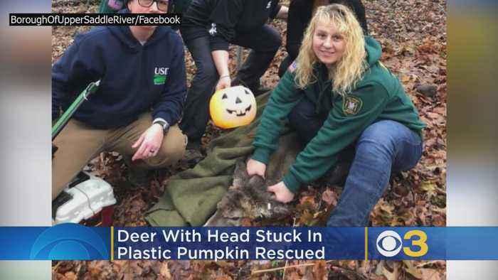 Deer Wandering New Jersey Town With Head Stuck In Plastic Halloween Pumpkin Rescued