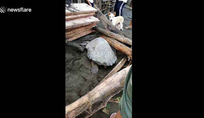 Sea turtle rescued after being washed onto beach by typhoon in the Philippines