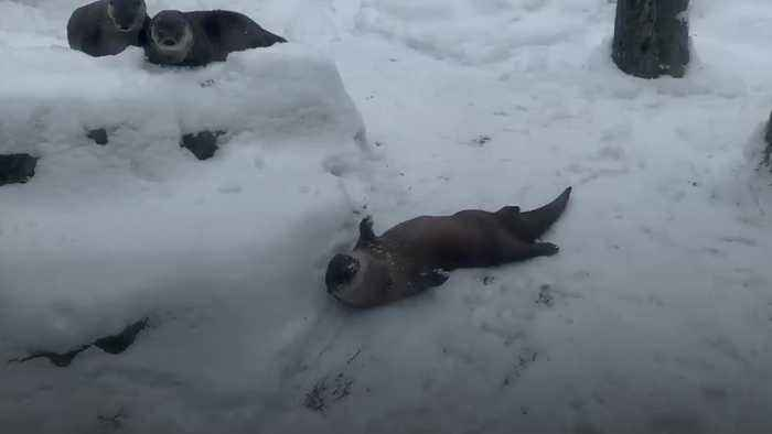Otters play in the snow at New York zoo