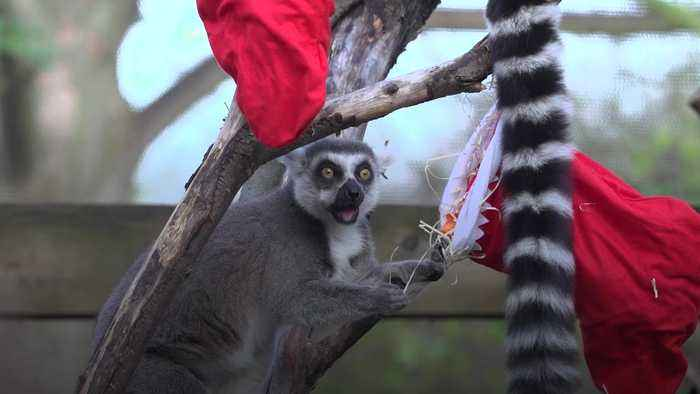 Lemurs, tigers and squirrel monkeys enjoy festive treats at ZSL London Zoo