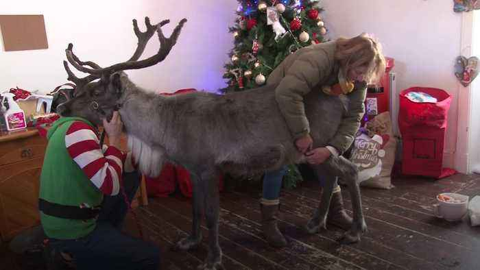 Injured reindeer saved from being put down by physiotherapy to pull his first sleigh