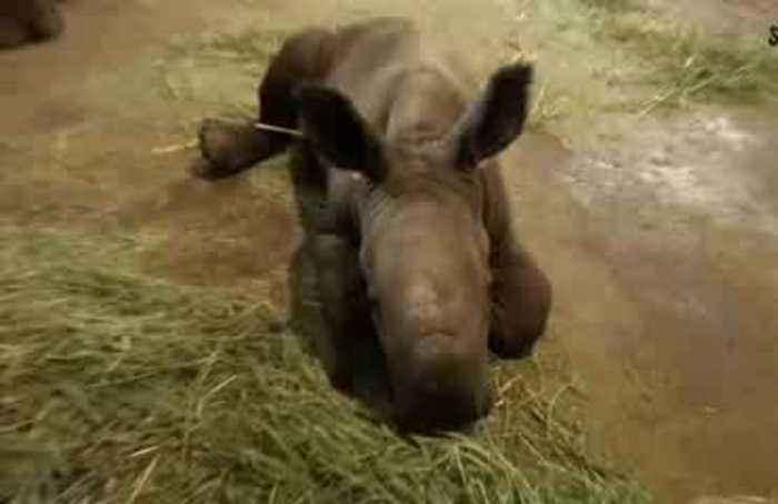 New rhino calf enjoys scrubs at Singapore zoo
