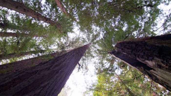 Massive California Redwood Tree Falls And Kills Hiker On Christmas Eve