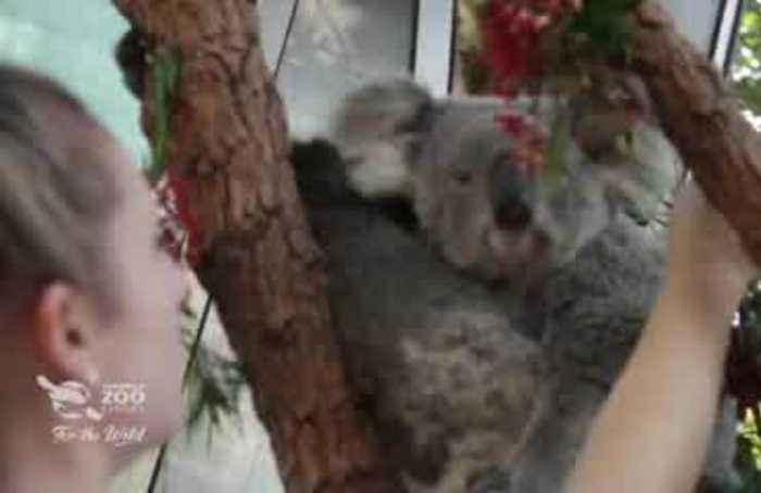 Native Australian animals get into festive spirit