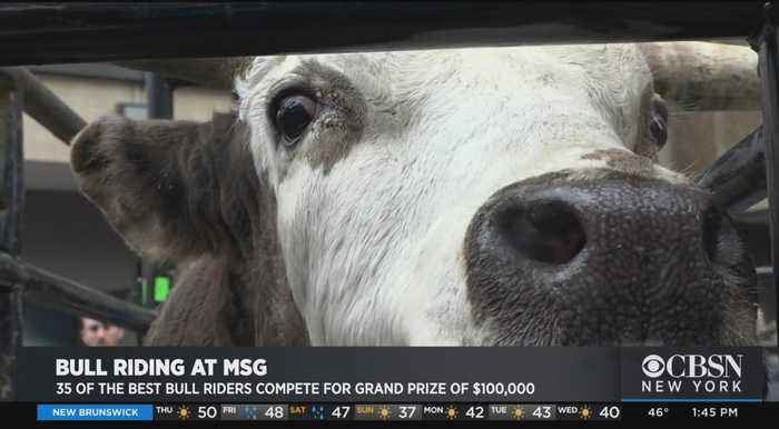 Bull Riders Return To Madison Square Garden