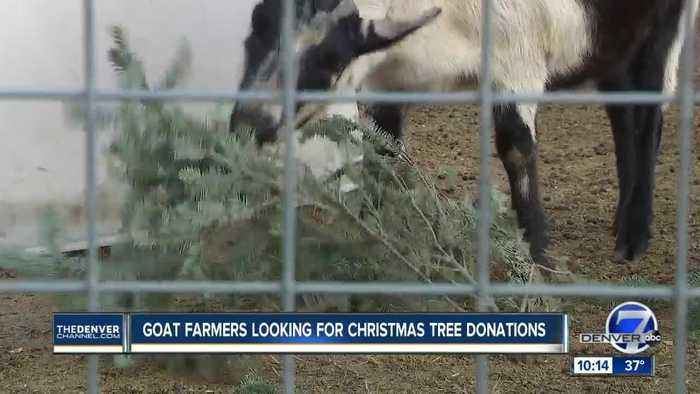 Farms seeking Christmas tree donations to feed goats