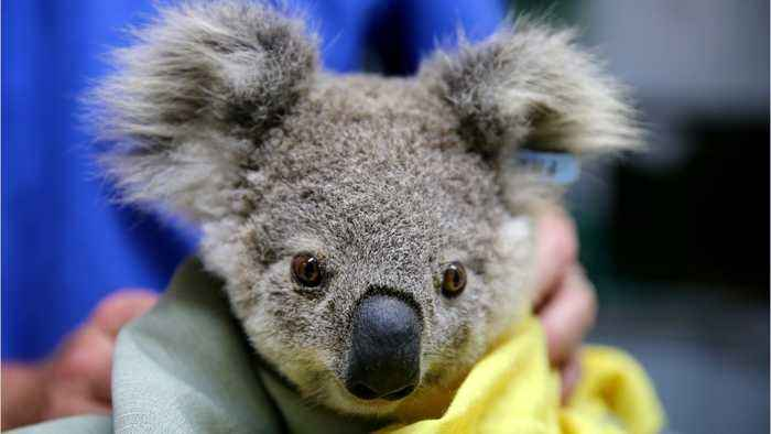 Australia Pledges Millions Of Dollars To Protect Animals From Fires