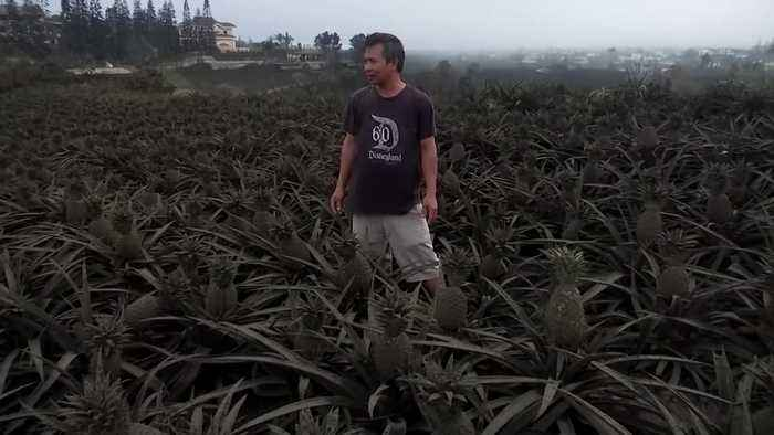 Ash-covered pineapples a woe for Filipino farmer