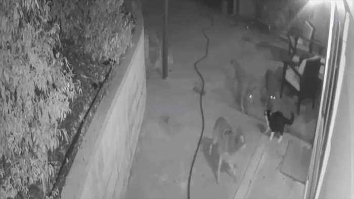 Courageous Cat Caught on Camera Fending Off Three Coyotes in Southern California