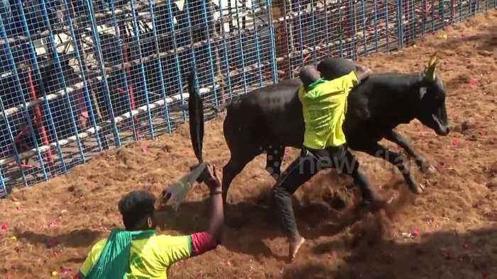32 injured as India's annual bull-taming sport Jallikattu begins