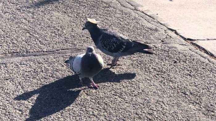Sombrero wearing pigeons seen in Reno