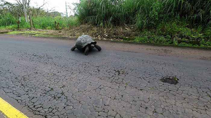 Giant wild tortoise gets right of way over traffic in the Galapagos Islands