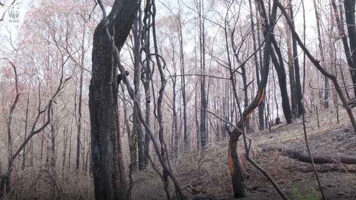 Detection dogs find seven koalas in burnt Queensland forest
