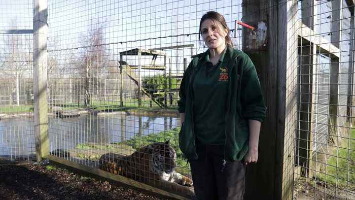 A zoo has revealed it sprays perfume in its big cat enclosures to encourage the animals to 'scent mark'