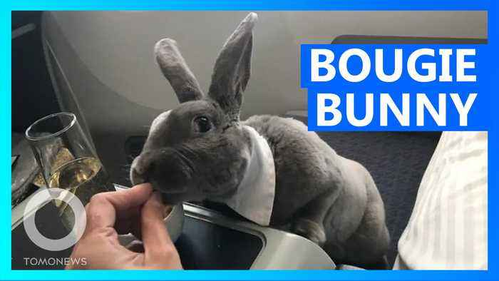 Bow-tie wearing rabbit flies business-class to Japan