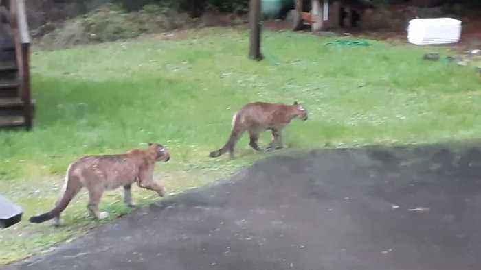 Two Mountain Lions Walk Through Yard