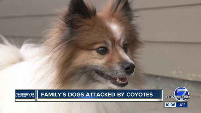 Video shows couple in Erie fight off coyote to save dog