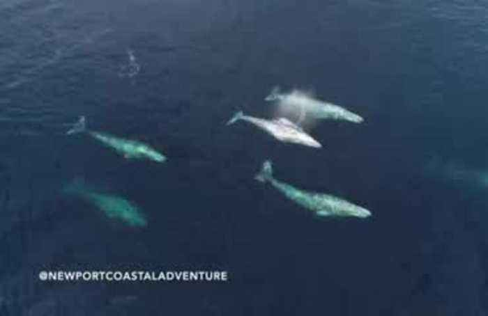 Drone footage captures California whale migration