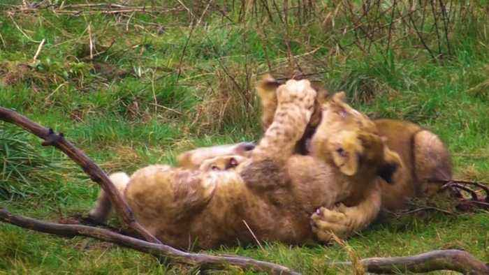 Two lionesses had seven cubs after mating with the same lion