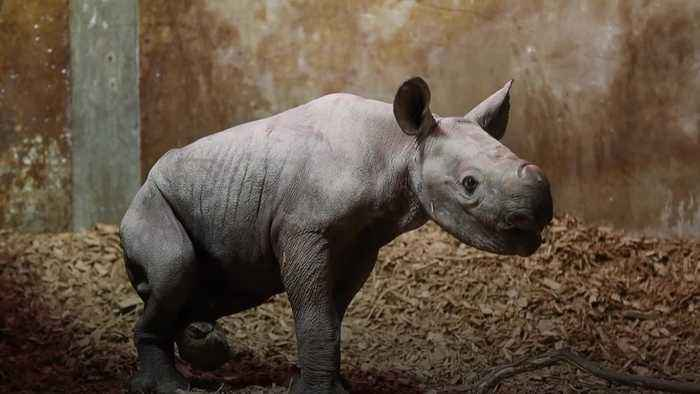Eastern black rhino welcomed into the world at Wales zoo