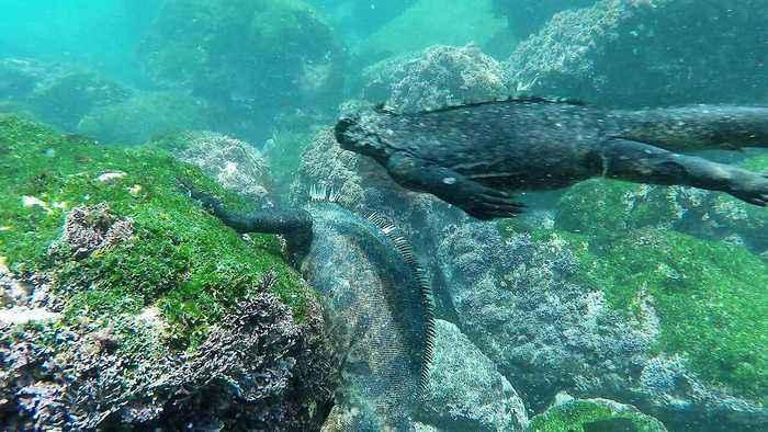 These Marine Iguanas of the Galapagos are just like mini dinosaurs
