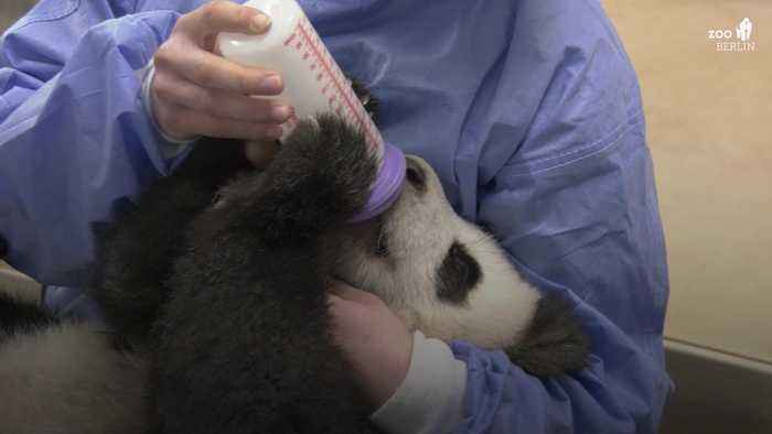 First pandas born in Germany bottle-fed by keepers