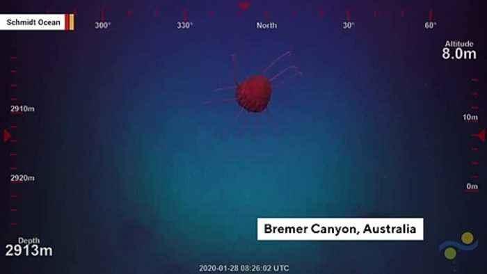 Video Shows Bizarre Helmet Jelly In Australian Waters